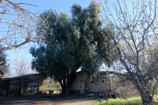Gästehaus mit Olivenbaum