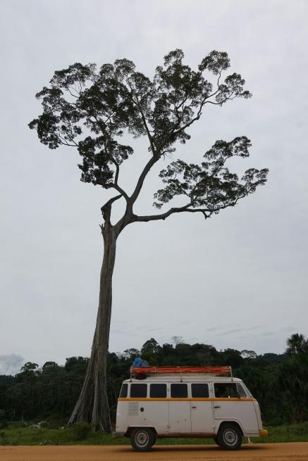 Regenwaldbaum