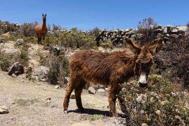 Esel und Lama